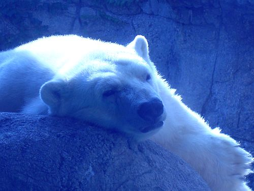 Polar Bear at the Indianapolis Zoo