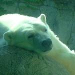The Indianapolis Zoo Loses A Star – Tahtsa the Polar Bear