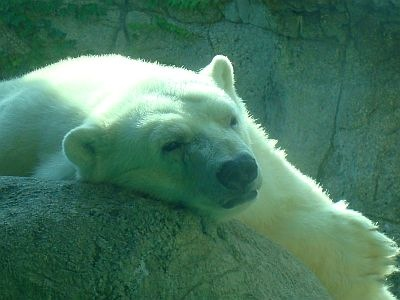 tahtsa-indianapolis-zoo-oldest-polar-bear